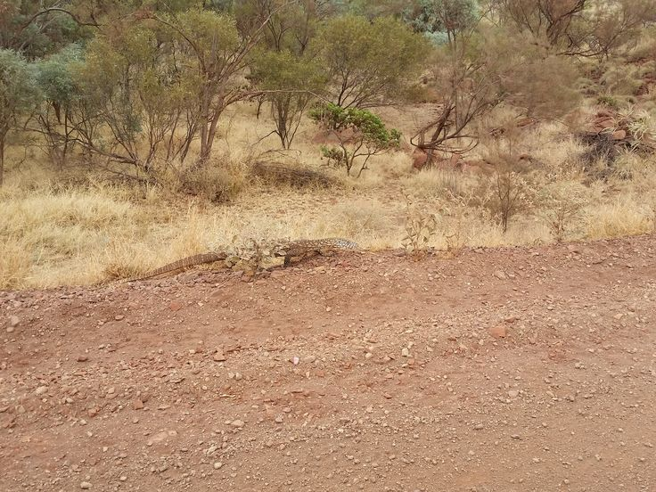 Had to wait for the Goanna to cross the road, Western Australia