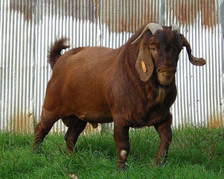 Boer goat. (Kalahari Reds)