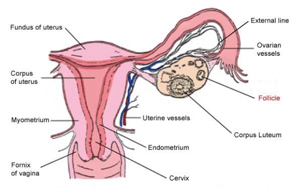 Anatomy Female Reproductive System | anatomy female reproductive system diagram 580x386