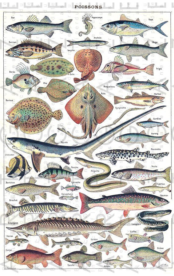 Marine Life Vintage Illustration By Adolphe Millot Larousse Etsy Illustration Graphic Design Print Digital Collage Sheets