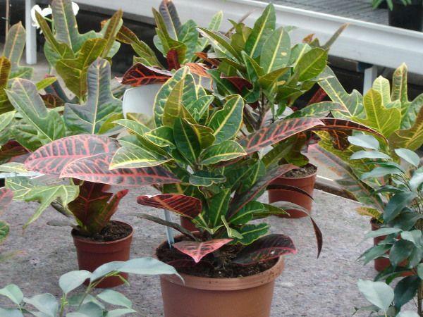 Kroton Pstry Pielegnacja Uprawa Rozmnazanie Choroby Plants Garden