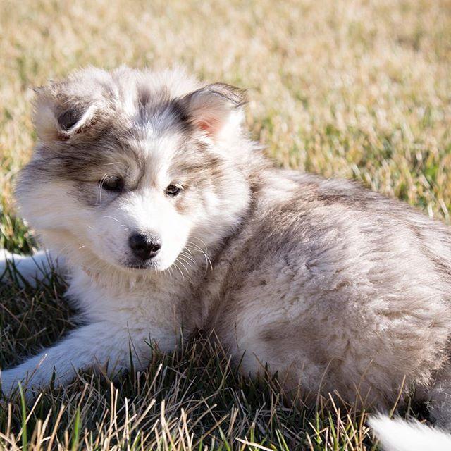 Puppy. Mocha. Baby..... #throwbackthursday  Cute Dogs, Dog Lovers, Husky, Husky Puppy, Cute Husky, Best Dogs On Instagram, Fluffy Dogs, Best Dog Breeds, Cutest Dogs, Huskies, Siberian Husky, Siberian Huskies, Cute Huskies, Best Pets, Dog Photography, Instagram Pets, Instagram Dogs, Puppies, Cute Puppies, Fluffy Puppies, Funny Dogs, Dogs Of Instagram, Dogs On Instagram, Follow Dogs On Instagram, Cutest Animals On Instagram  #Regram via @mocha_in_the_morning