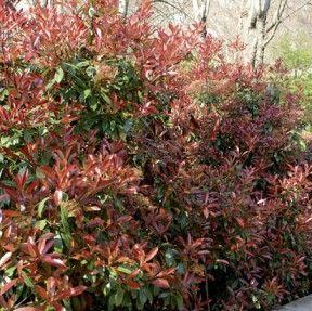Les 25 meilleures id es concernant arbre persistant sur pinterest plante persistant arbuste - Haie champetre persistant ...
