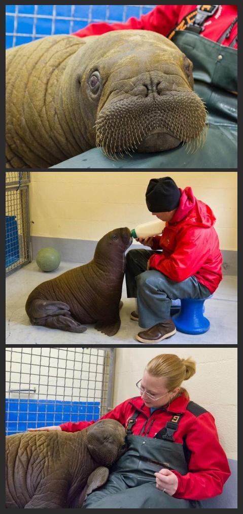 Stranded walrus calf rescued from Alaska lagoon
