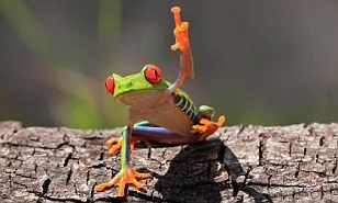 Real-life Crazy Frog: Dancing amphibian can stand on his own two legs (but thankfully he's not going to release his own ringtone) | Daily Mail Online