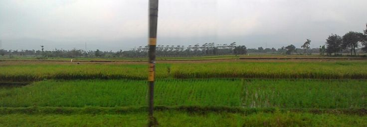 Sawah. Rice field in Wedi, Klaten