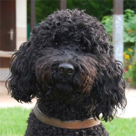 I just found out about Barbet dogs. If I had a dog, it would be a Barbet dog I think.     Here's a link about them: http://americanbarbet.com      Google Image Result for http://www.chien-guide-paris.asso.fr/wp850/agenda-PO/fawell1.jpg