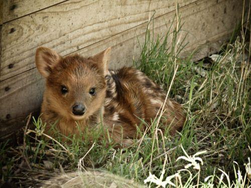 características físicas que presenta el pudú son: ojos muy pequeños de color negro, al igual que su nariz. Las orejas que poseen estas especies son redondas y miden alrededor de 8 cm.