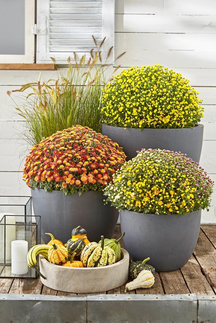 Chrysanthemen Zimmerpflanzen Chrysanthemen Pflanzen