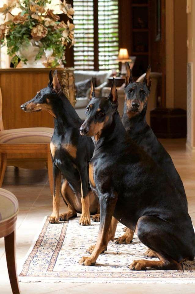 279 besten my friend bilder auf pinterest hunde autositze und der deutsche. Black Bedroom Furniture Sets. Home Design Ideas