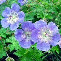 garden-geranium-flower-20120416