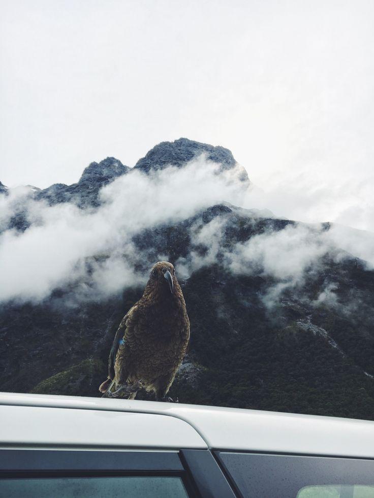 #Kea bird in its natural habitat. #birds #nature