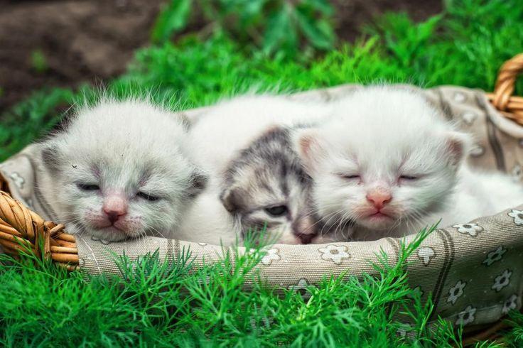 Kattungens utvikling 0 - 4 uker - Kitten development 0 - 4 weeks
