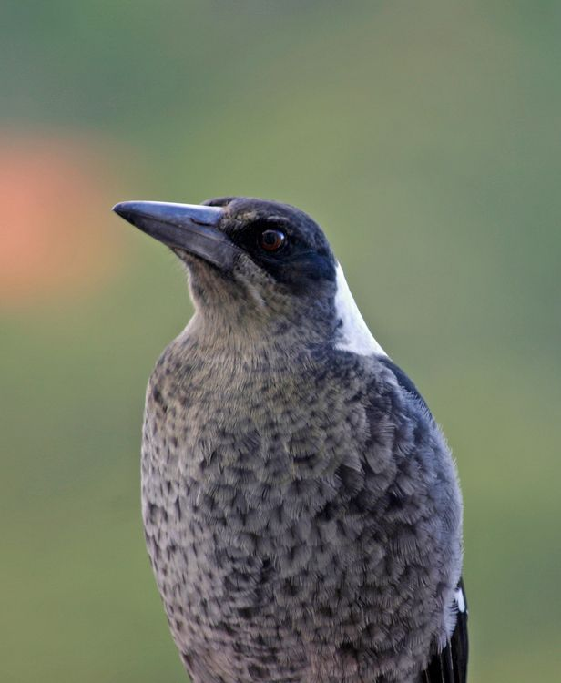shows characteristic plumage of young magpie, in greys, Edward Hunter Heritage Bush Reserve, photo by Ian Sanderson, http:/www.flickr.com/photos/iansand/4549588249;