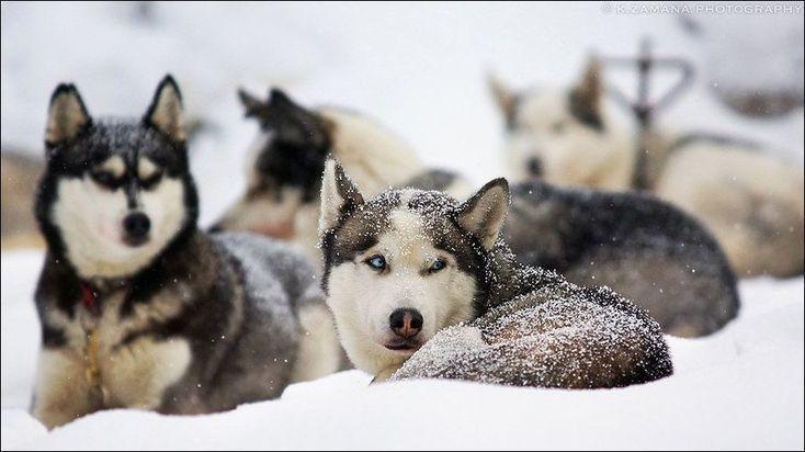 Siberian Huskies Tags Welpe Fakten Lustig Gesicht Training Tipps Zum Verkauf Rot Funny Baby Pics Sibirischer Husky Welpen Heiser