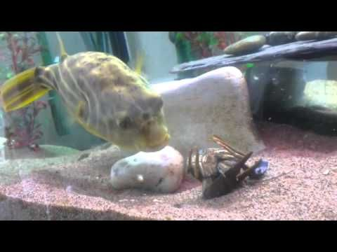10 images about fishies on pinterest cichlids fish for Puffer fish diet