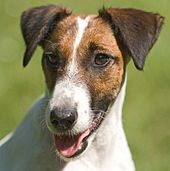 Smooth Fox Terrier - United Kingdom - Close-up