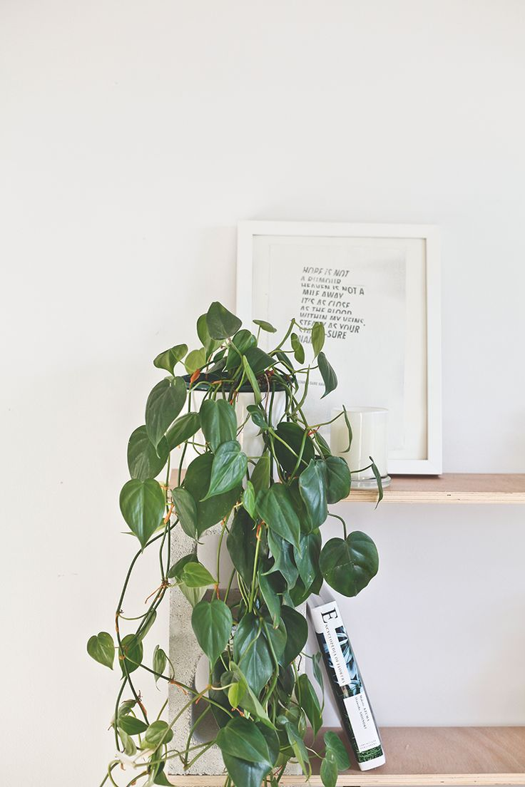 The heart leaf philodendron another philodendron and this was the first plant i bought back - Good indoor plants ...
