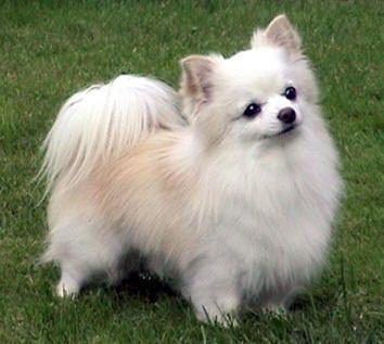 Looks sooo cute.  Long haired chihuahua.