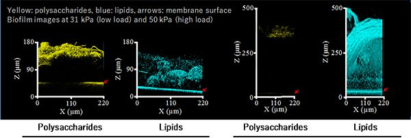 Point  AIST observed the fouling process of water treatment membranes non-destructively. A phenomenon was discovered in which the lipids present in a biofilm caused membrane fouling. The researcher proposed a new model for the membrane fouling process under high loads. New results Two types of...