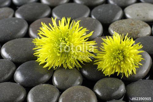 tranquil spa scene- Macro of two green gerbera daisy on pebble