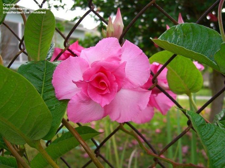 Mandevilla    ... of Mandevilla, Dipladenia 'Rita Marie Green' ( Mandevilla x amabilis