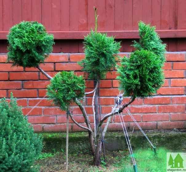 ниваки из туи На следующий год, весной, были почищены стволы от хвои и, с помощью садовых ножниц, намечены черновые контуры шаров.