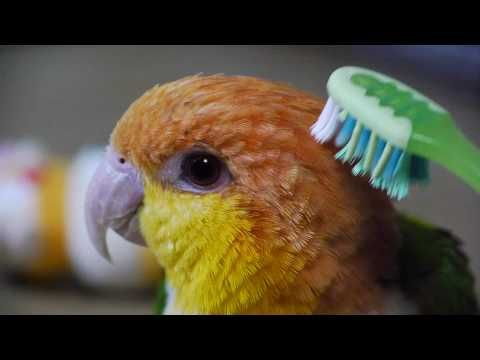 Toshihiro Taruya's White Bellied Caique - YouTube. More great videos oof this beautiful bird on his channel @ https://www.youtube.com/channel/UCaFqhmcRk4nrO7WWU_ci27w