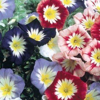 Outsidepride Morning Glory Ensign Mix - 1000 Seeds Outsidepride: Vine Seed http://www.amazon.com/dp/B004IAC7UY/ref=cm_sw_r_pi_dp_YP81tb0V5V3496HX