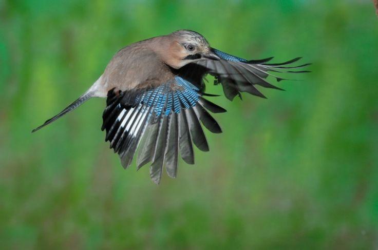 - Eichelhäher im Flug - jay in flight