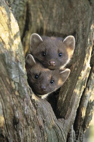 Love your family pic | Pine martens