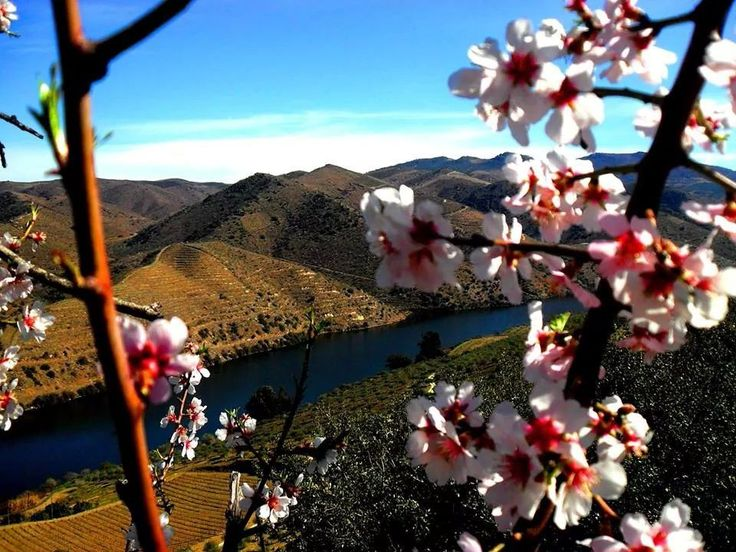 Amendoeiras em flor. Rio Douro Vila Nova de Foz Coa