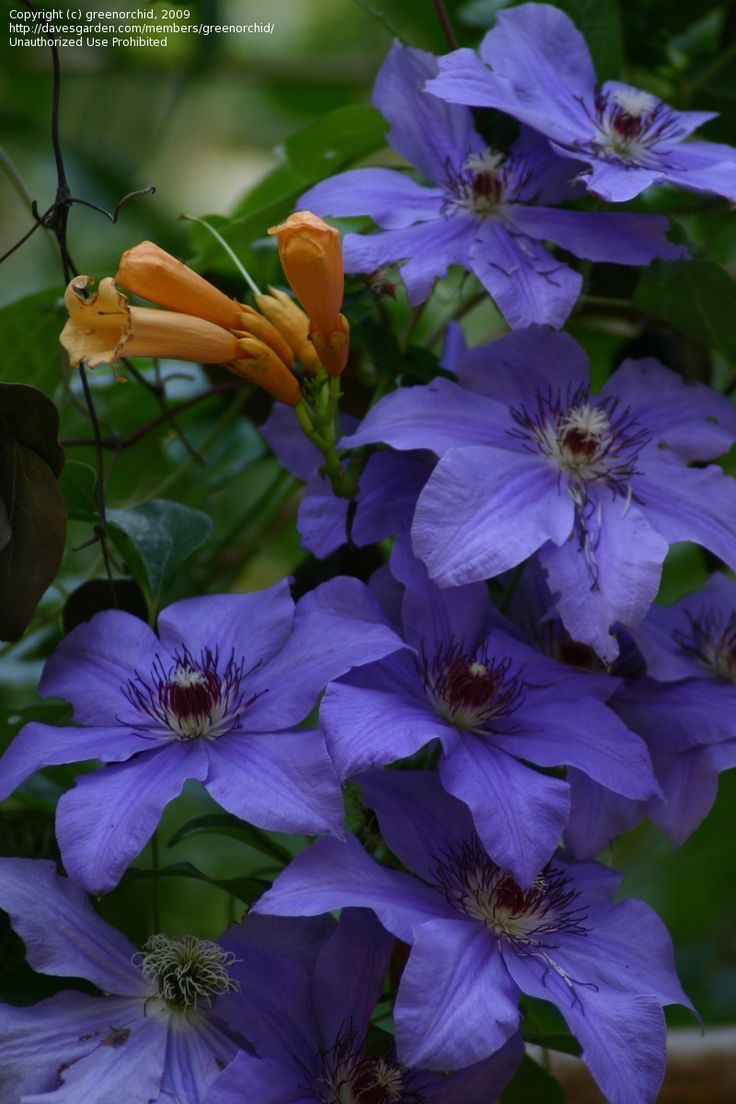 Full size picture of Late, Large Flowered Clematis 'Ramona' (Clematis)