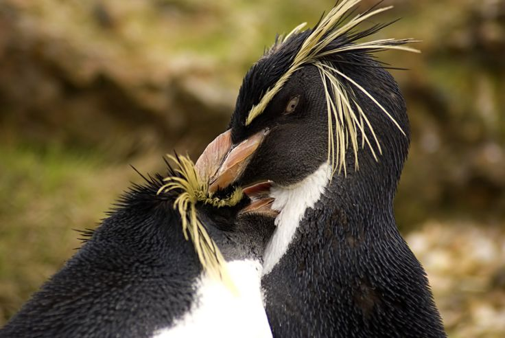 Rockhopper Penguin I really adore this thought, do you agree? For more information, please visit the web site : http://www.nicheharvest.com/i0001