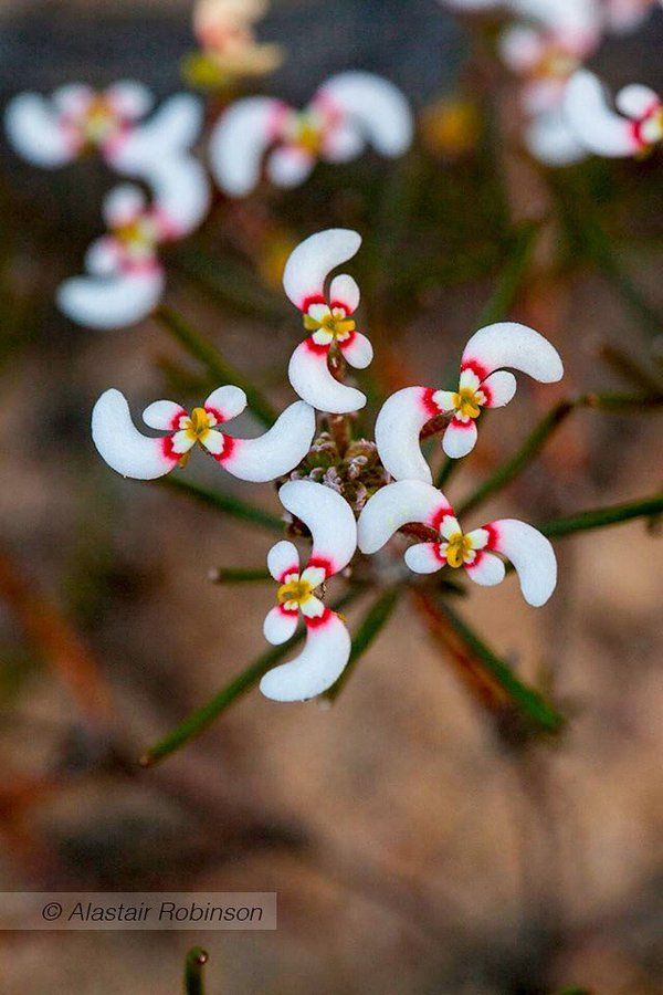 Stylidium eriopodum, of Western Australia, has remarkable boomerang-shaped flowers