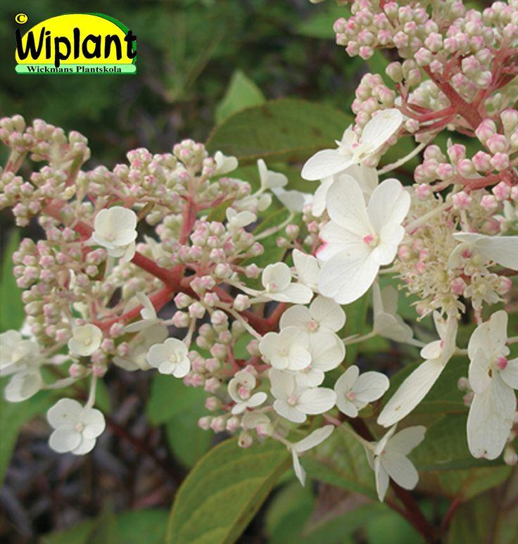 Hydrangea pan. 'Pinky Winky', syrenhortensia. Vita och rosa blommor. Upprätt växtsätt. Höjd: 1-1,5 m.