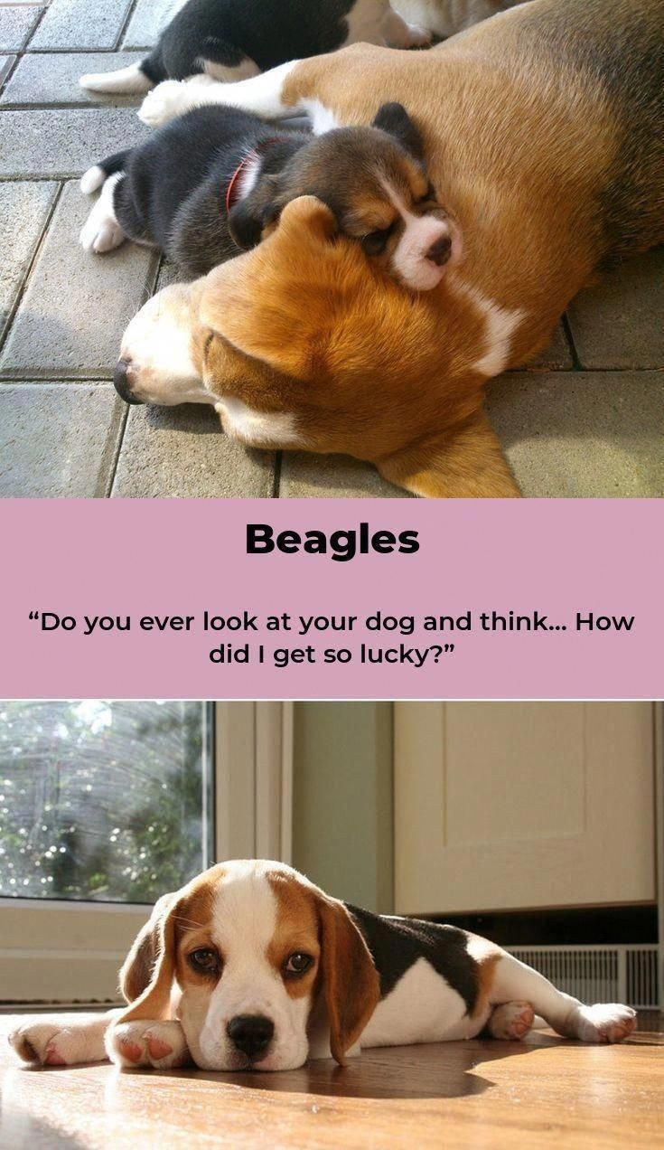 Obtain Excellent Recommendations On Beagle Pups X They Are
