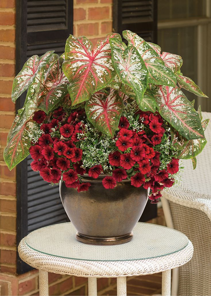 U0027Ring Around The Rosyu0027 Bring A Tropical Flair To An Otherwise Ordinary Patio  Container