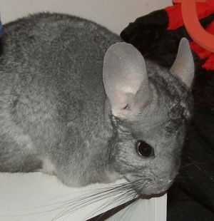 Chinchilla care - photo#30