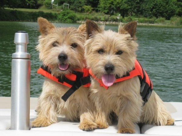 Photo of two Norwich Terrier dogs in lifejackets, ready for a boat ride.