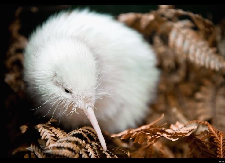 Manukura the all-white Kiwi!