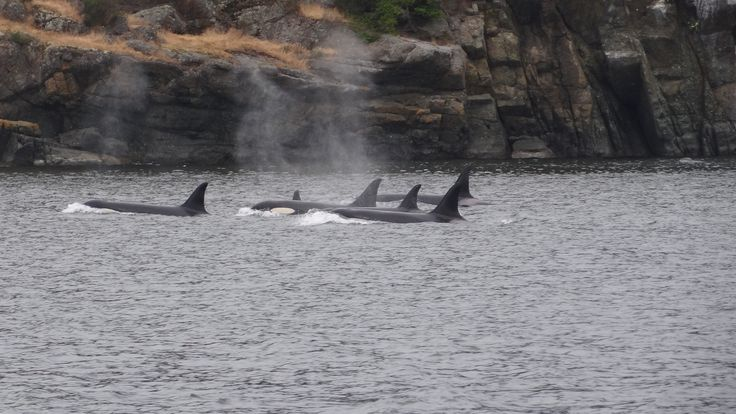 Killers in their natural environment. #wild #orcas #killerwhales