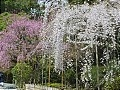 Shidarezakura (Weeping Cherry)   late March, early April  Shidarezakura are weeping cherry trees, i.e. they have drooping branches. There are trees with blossoms of five petals and trees with blossoms of more than five petals. The latter are called Yaeshidarezakura.