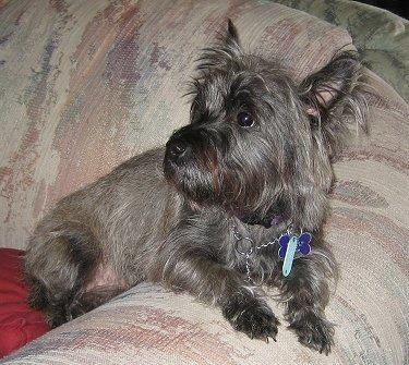 had one growing up....R.I.P Lucy: Terriers Pet, Quality Stuff, Health Stuff, Folli Puppies, Cairn Terrior, Cairn Cuti, Random Pin, Dogs Kiss, Cairn Terriers