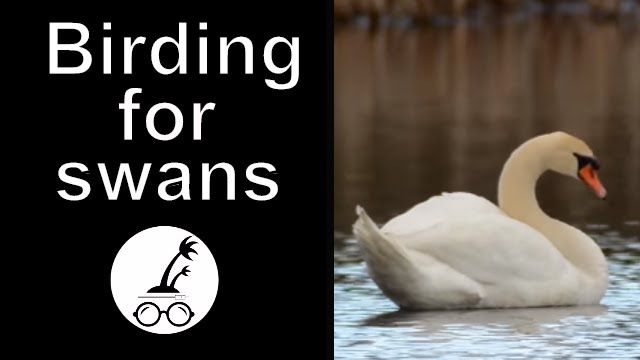 Late April birding for swans.