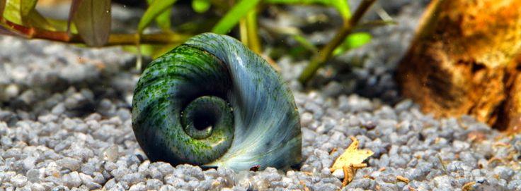 Nano-Aquarium für Anfänger: Posthornschnecken poröse Gehäuse - muss nicht sein!