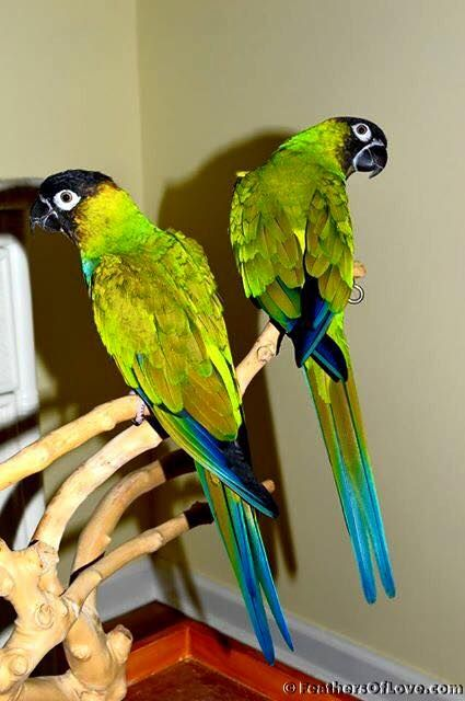 NANDAY CONURES                                                                                                                                                     More
