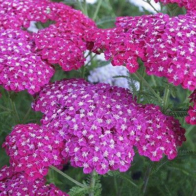 680 best plants perennials sun zone 5 images on pinterest flowers garden flower beds and. Black Bedroom Furniture Sets. Home Design Ideas