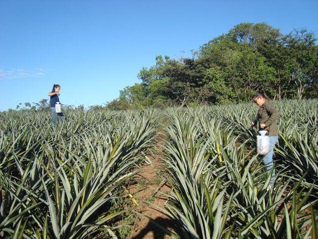 Águas de Pontal: Pesquisadora brasileira produz abacaxi sem agrotóx...