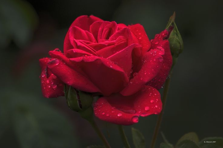 Gorgeous Roses: The Meaning of Rose Colors